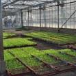 Les plants de salades