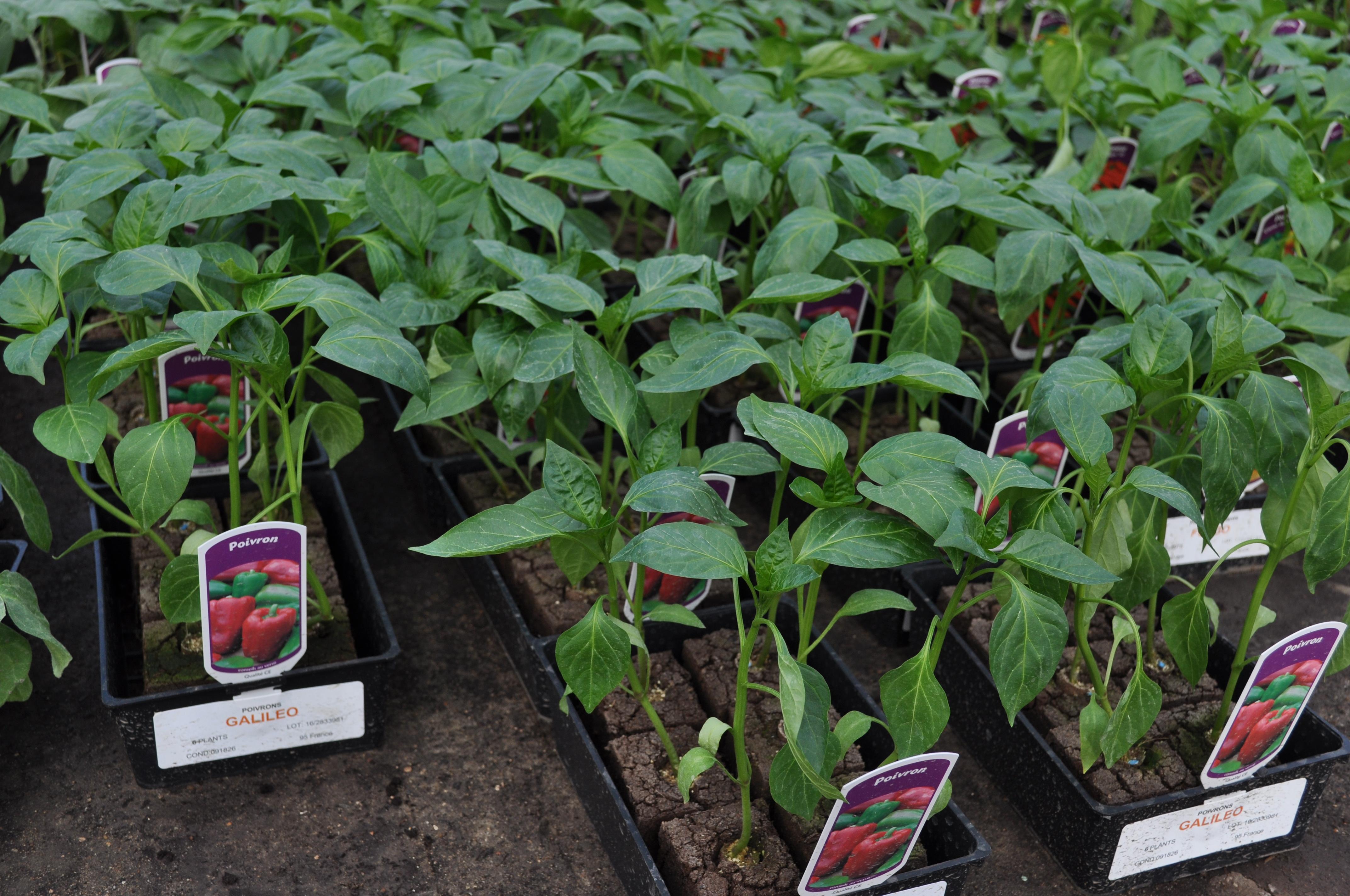 Les serres de maubuisson - Comment planter des poivrons ...